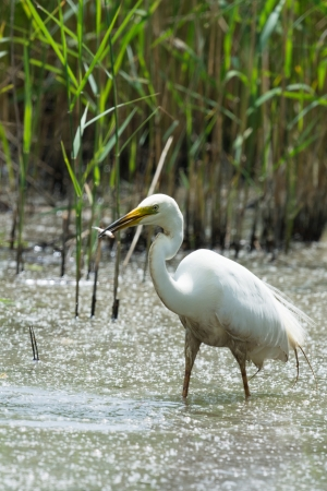 Great egret catching a little fish photo