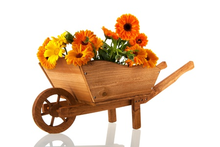 Orange marigolds in wooden wheel barrow isolated over white background photo