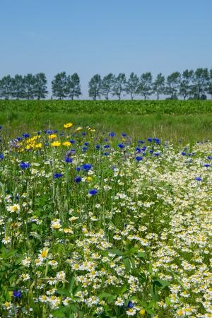 matricaria recutita: Campo colorato con blu e giallo fiori di campo