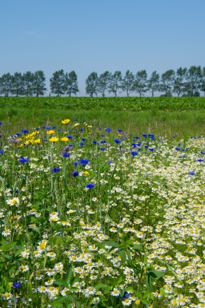 matricaria recutita: Colorful field with blue and yellow wild flowers Stock Photo