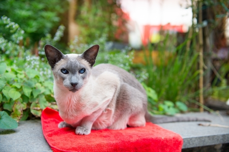 Blue point siamese cat on red outdoor photo