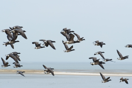 wadden: Swarm brent gooses flying above the Dutch wadden sea