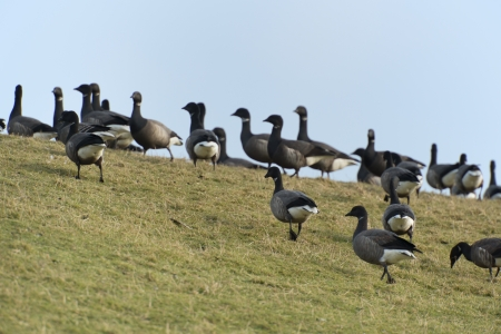 brent: Swarm brent gooses walking in nature grass Stock Photo