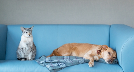 blue siamese cat: Cat and dog at the blue modern bench