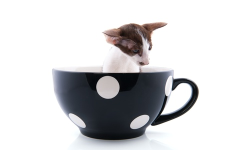 Little siamese kitten in big coffee cup photo