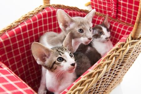 Little cats hiding in wicker picnic basket photo