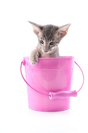 Little siamese kitten in pink bucket isolated over white background photo
