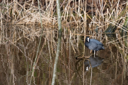 coot: Eurasian coot in natural water with reed