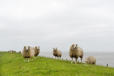 wadden: Texel sheep on dyke at Dutch wadden island