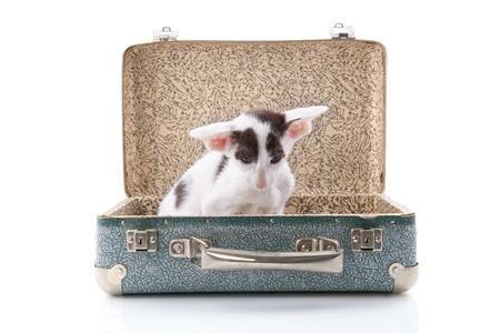 Little siamese kitten in old vintage suitcase photo