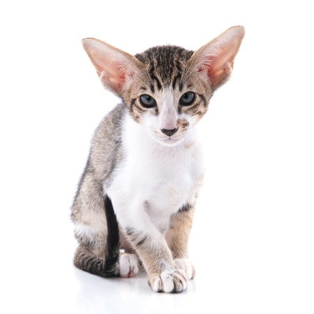 Little tabby siamese kitten isolated over white background photo