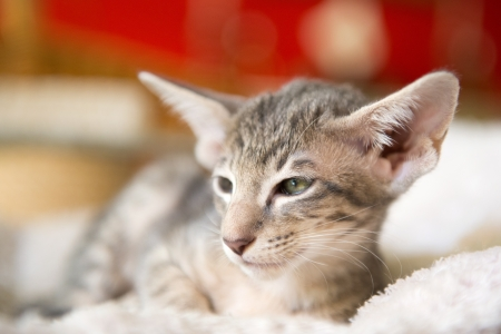 Little tabby siamese kitten with red background photo