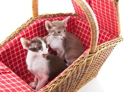 Little tabby cat hiding itself in wicker picnic basket photo