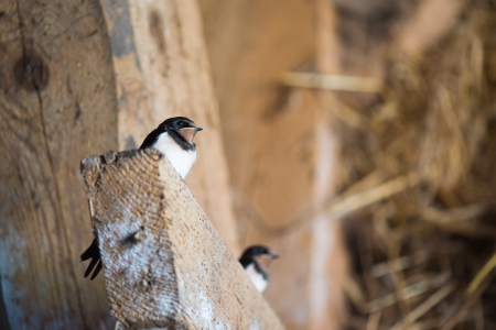 Two young barn swallow indoor