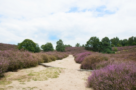 Heather landscape with sand path  photo