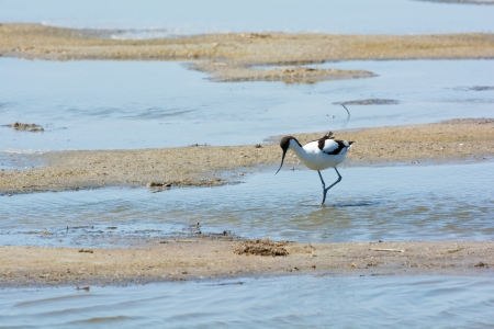 wading: Wading bird Pied avocet walking in nature water Stock Photo