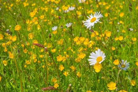 buttercups: Wild summer flowers with daisies and yellow buttercups  Stock Photo