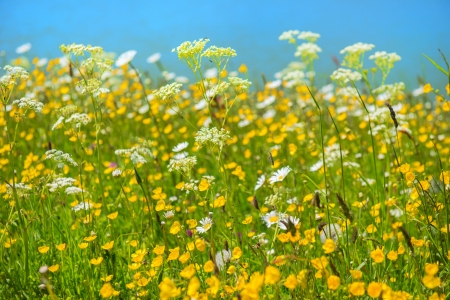 buttercups: Wild summer flowers with daisies, buttercups and cow parsley