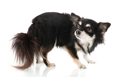 fearful: Black Chihuahua isolated over white background