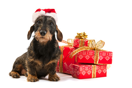 Wire haired dachshund with red hat of Santa Claus isolated over white background Stock Photo