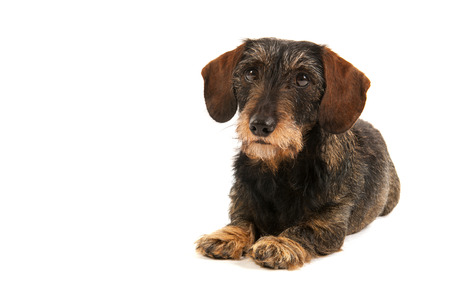 pure breed: Wire haired dachshund isolated over white background