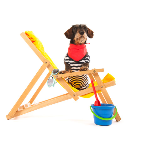 purebreed: Wire haired dachshund in beach chair isolated over white background