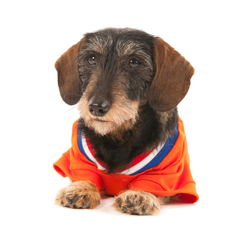 purebreed: Wire haired dachshund as Dutch soccer sports fan isolated over white background Stock Photo