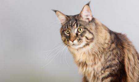 maine coon: Portrait pedigree Maine Coon chat gris Banque d'images