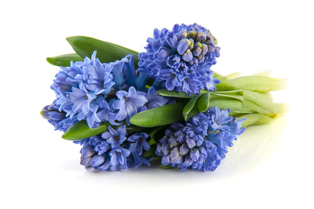 bulbous: Bouquet blue hyacinths isolated over white  Stock Photo