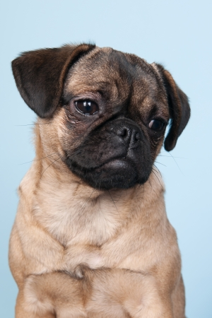 Little puppy pug portrait on blue background photo
