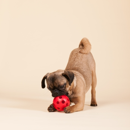 Little puppy pug playing with ball photo