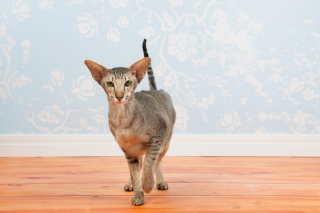 siamese cat: Tabby siamese cat with green eyes in room with vintage wall paper