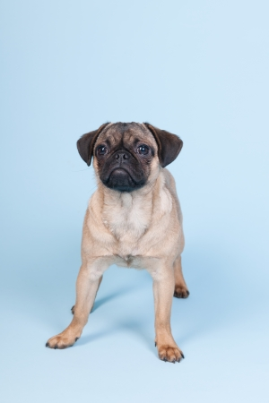 Little puppy pug standing on blue background photo