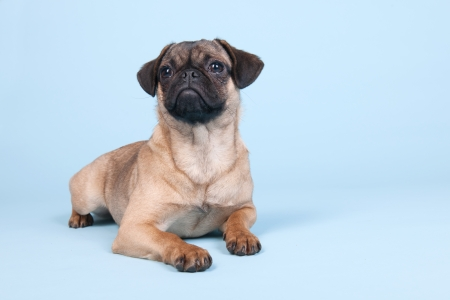 Little puppy pug laying on blue background photo