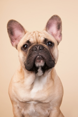 French bulldog portrait in studio on blue background photo