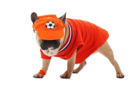 sports wear: Dutch dog in orange sports wear as soccer fan