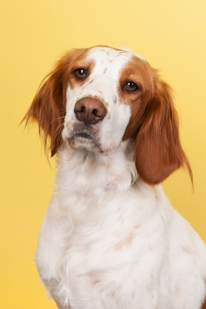 crossbreed: Portrait of cute cross-breed Spaniel on yellow background
