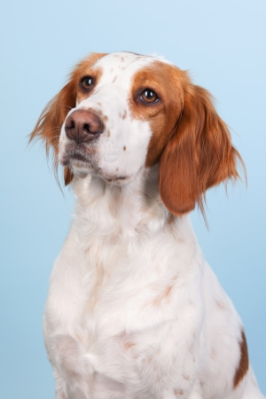 crossbreed: Portrait of cute cross-breed Spaniel on blue background Stock Photo