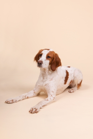 crossbreed: cute cross-breed Spaniel in studio on cream colored background  Stock Photo