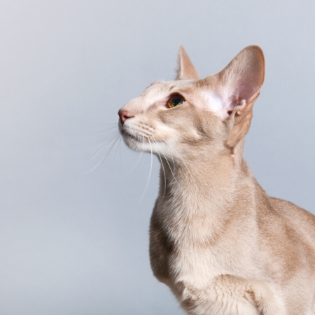 Portrait of Lavender Siamese cat isolated over gray background photo