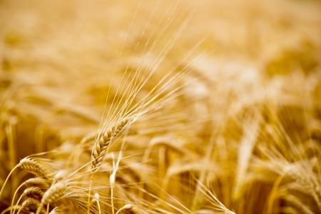 Ripe grain in the sunny summer field photo
