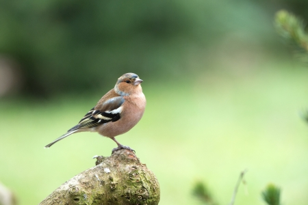 chaffinch: Common Chaffinch on tree trunk in forest Stock Photo