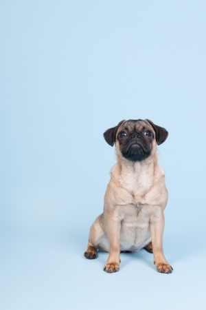 Little puppy pug sitting on blue background photo