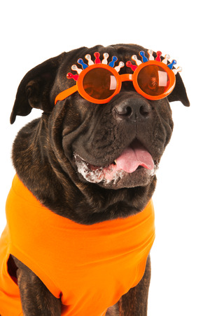 slobber: Dog with Dutch flags and orange sweater as sports fan isolated over white background
