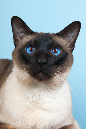 siamese cat: Seal point Siamese cat with blue eyes