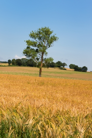 Single tree in agricultural field in France photo