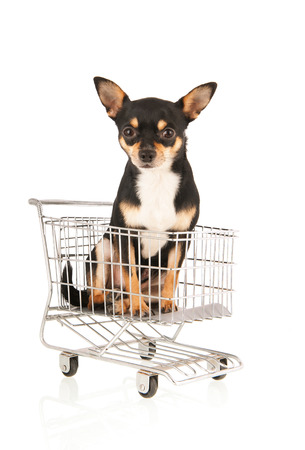 Chihuahua sitting in shopping cart isolated over white background photo