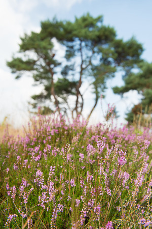 Macro of purple heather flowers in nature photo