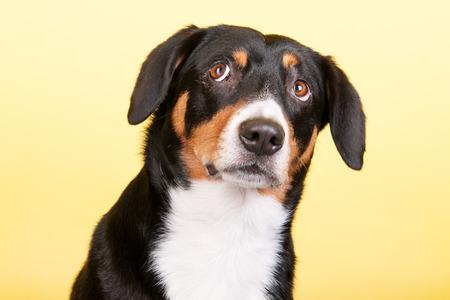 sennenhund: Portrait of an Entlebucher Sennenhund on yellow colored background