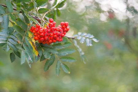 sorbus: Tree with red Sorbus berries